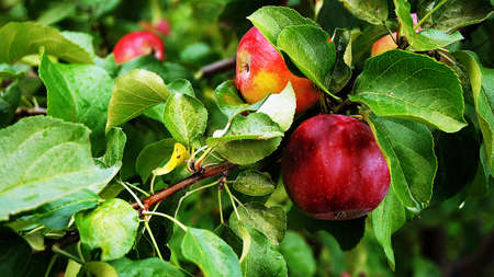 Ripe red apples to hang on the branches of the Apple tree.