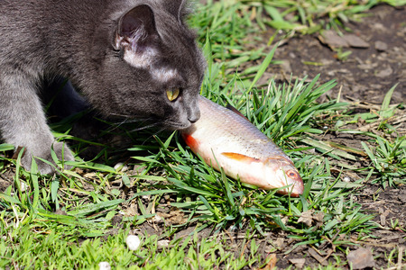 river fish: Grey cat sniffs the fresh river fish.