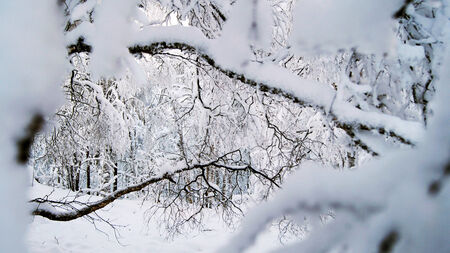 wintery day: Branches of trees powdered with snow in the winter forest.