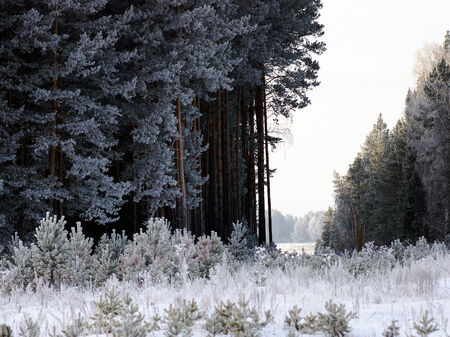 Clearing in a pine forest winter.