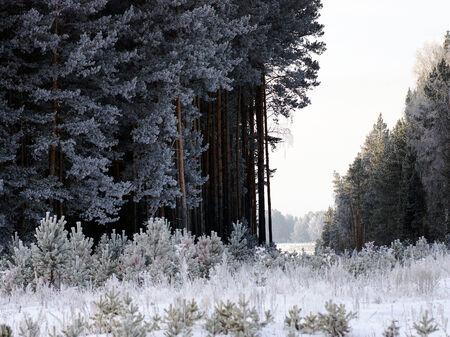 L�schen in einem Pinienwald im Winter.