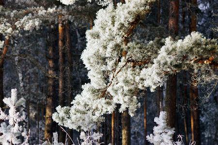 Kiefer-Zweig bedeckt mit Frost.