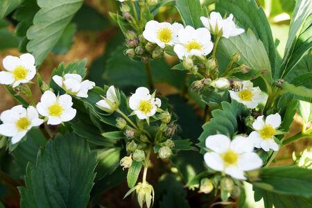 Blumen Erdbeeren unter den gr�nen Bl�ttern. Lizenzfreie Bilder