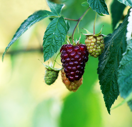Sprig raspberries hanging on a Bush.