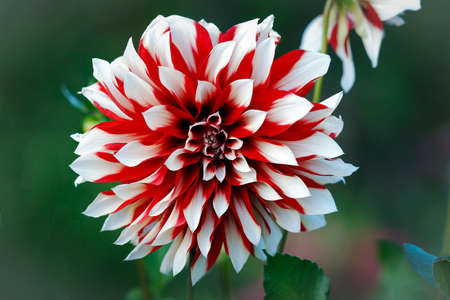 Blooming bright red white Dahlia.