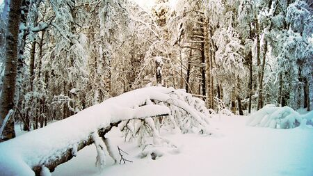 The trees covered with snow in the winter forest.