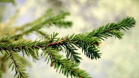 Bright green needles on branches of the coniferous tree.