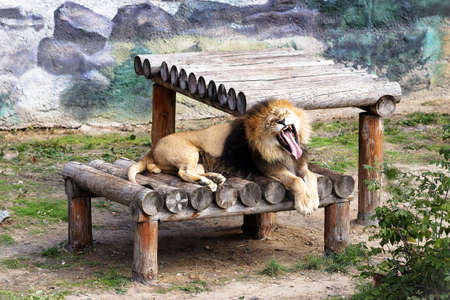 Lions basking in the sun in the aviary of the zoo.