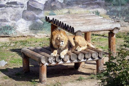 austere: Lions basking in the sun in the aviary of the zoo.