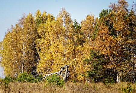 Birch trees on a Sunny day in autumn forest.