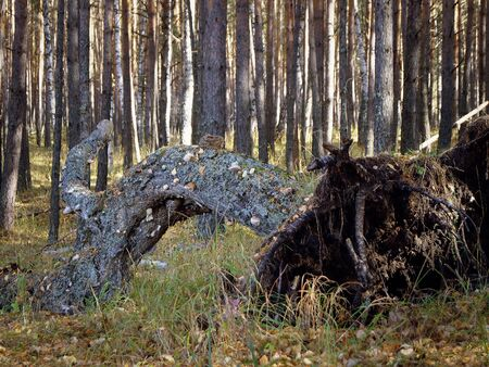 The wind knocked down a tree in a pine forest. Stock Photo