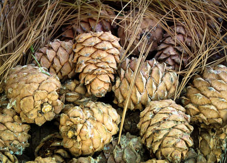 The pine cones in the resin in the pine needles. Stock Photo