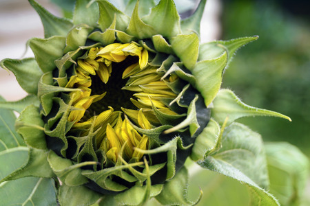 The sunflower is an annual plant, is used for the manufacture of sunflower oil. Stock Photo
