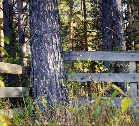 A wooden fence blocked by young pines. Stock Photo