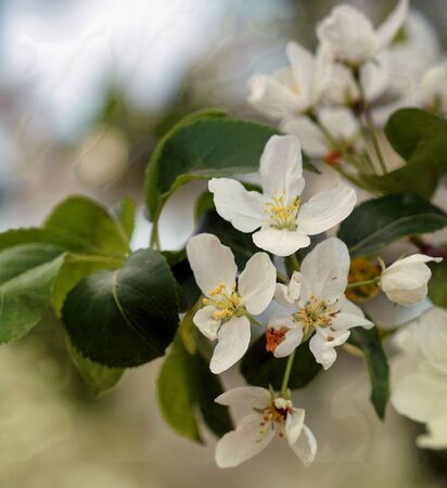 Blooming Apple tree in the orchard in the spring. Stock Photo