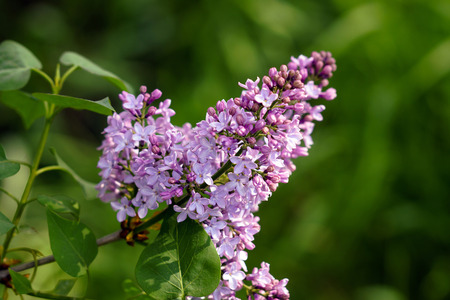 Flowers of a lilac Bush blossomed in the spring.
