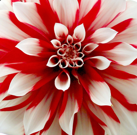 Blooming bright red - white Dahlia. Stock Photo