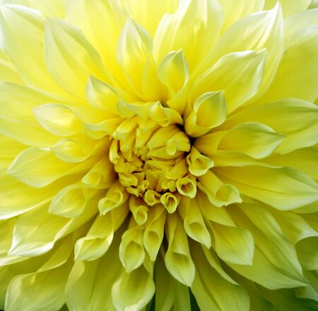 Blooming bright yellow Dahlia amid the green of the leaves. Stock Photo