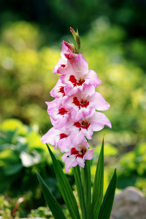 Pink gladiolus flower bloomed in the garden.