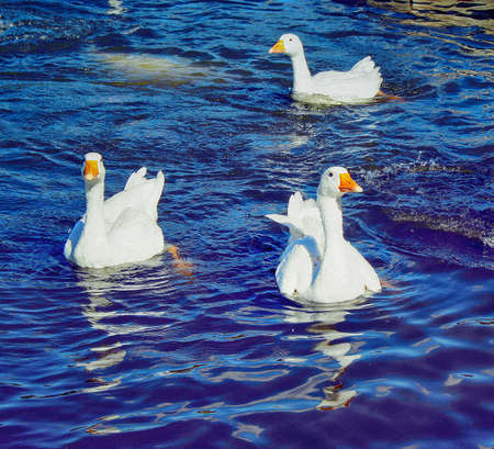 A flock of geese flapping wings floating on the pond.
