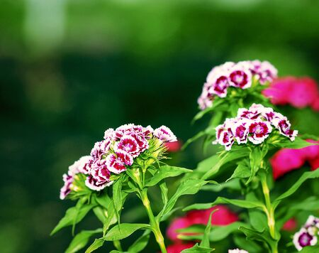 The garden carnation is a beautiful and fragrant flower had bloomed in the garden.
