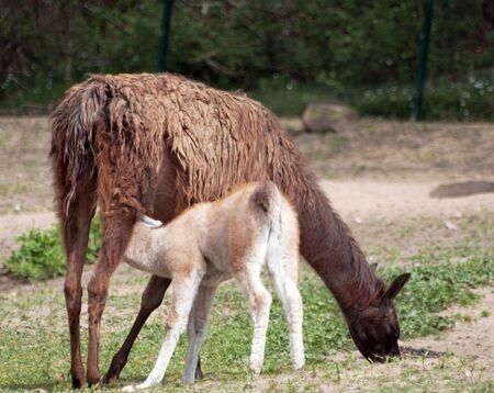 the lama: the beauty lama