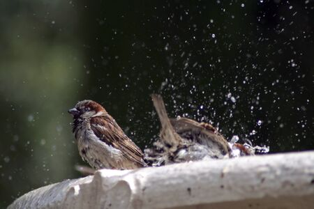a small sparrow which takes a shower