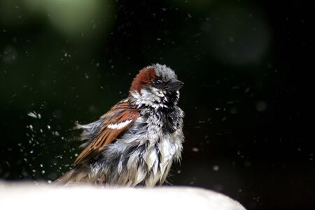 a small sparrow which takes a shower Stock Photo - 10814404
