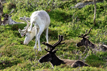 Reindeer in the North of Norway, at Nordkapp photo