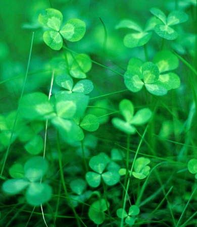 green clover background photo