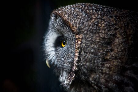 beauty Owl photo