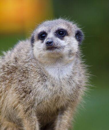suricatta: the beauty Meerkat (Suricata suricatta)