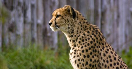 of the cheetah portrait photo