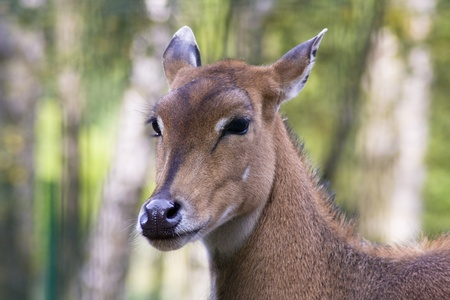 Nilgai Antelope Stock Photo - 12539839