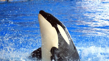 Orca or Killer Whale photo
