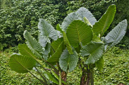 Big leaves in Erawan park in Kanchanaburi Thailand photo