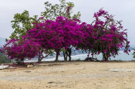 magenta flowers: Tree full of magenta flowers at Khao Takiab Hua Hin Thailand Stock Photo