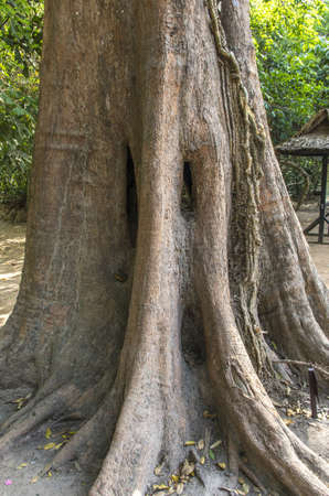 Roots of Sprung tree in Angkor at Siem Reap province photo