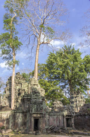 sprung: Tall sprung trees amonst the ruins of Ta Prohm temple at Angkor in Siem Reap Cambodia