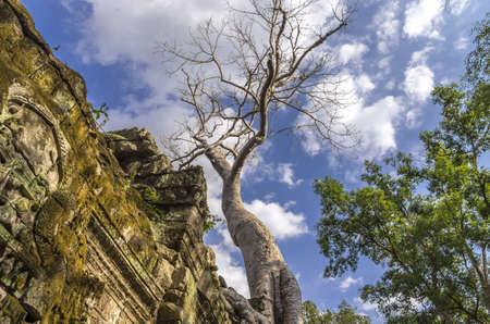 sprung: Tall Sprung trees at Ta Prohm temple at Angkor in Siem Reap province