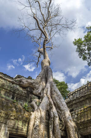 sprung: Roots of Sprung trees on Ta Prohm temple at Angkor in Siem Reap province