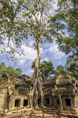sprung: Giant exposed roots of Sprung trees on Ta Prohm temple at Angkor in Siem Reap province Stock Photo