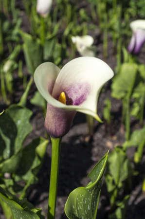 A beautiful Calla Lily flower