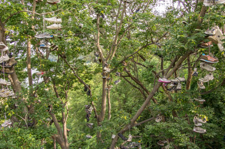 Minneapolis, Minnesota - August 20, 2014: Old shoes hung on trees in the campus portion of the University of Minnesota, in Minneapolis, Minnesota as a charm for good luck.