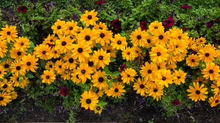 Yellow rudbeckia flowers background