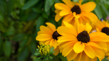 Yellow rudbeckia flowers background