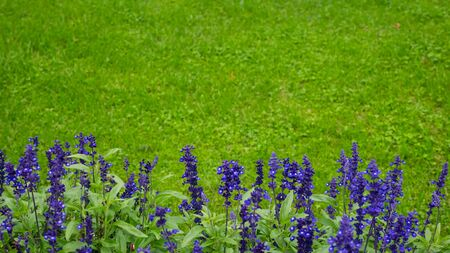 Blue and purple delphinium flowers on green bakcground Stock Photo
