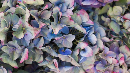 Beautiful hortensia flowers in pastel colors