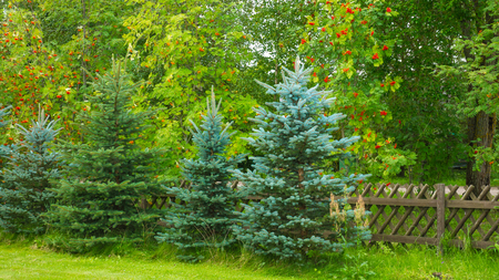 evergreen trees: Background with green leaf trees, evergreen trees and rowan.
