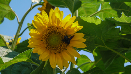 yellow stamens: Big yellow sunflower with a bee on a blue sky background